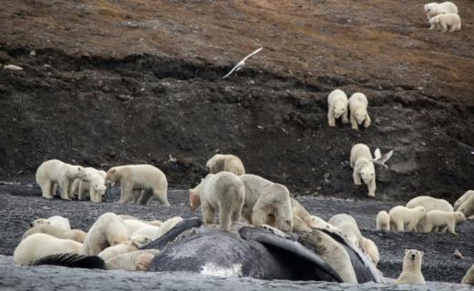 러시아 섬에 몰려드는 북극곰…다툼에 수백 마리 죽어