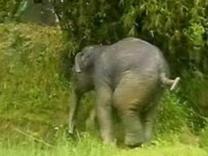 베트남 조련사, 28년간 키운 코끼리에 목숨잃어