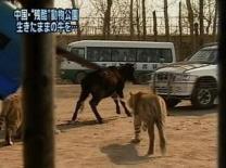 """""""한국에서는 돼지, 중국에서는 소"""" 中동물원 논란"""