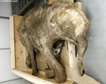 '살아있는 맘모스' 동물원서 볼수 있을까?