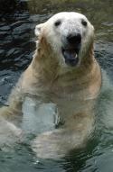 지구온난화 지속되면 40년내 북극곰 사라져