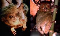 '멸종위기' 안경 원숭이 80년 만에 발견