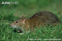 쥐 통해 전염되는 '치명적 병원균' 발견