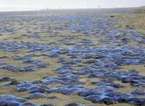 美해변 뒤덮은 해파리 사체 미스터리