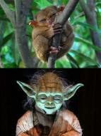 스타워즈 '요다' 닮은 원숭이 화제