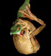 """""""눈에 보석?""""…거대 개구리 '꿀꺽' 신종 독사"""