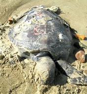 호주 해안서 '거북이 떼죽음' 미스터리