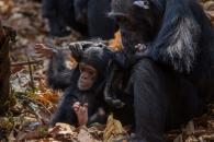 어릴 때 어미 잃은 침팬지,  '평생' 후유증 시달린다(연구)