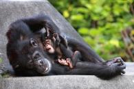 """""""침팬지, 장애가진 새끼있으면 무리가 함께 돌본다"""""""