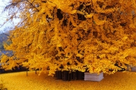 [월드포토+] 1400년 된 은행나무가 만든 '황금 카펫'
