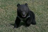 中 남성 6개월 동안 키워온 개, 알고 보니 '흑곰'