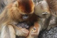 동족의 새끼 출산 돕는 '산파 원숭이' 포착 (연구)