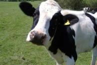 '온실가스 주범' 젖소의 '메탄가스' 막는 방법 찾았다 (연구)