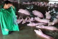 홍수에 죽을뻔한 돼지 6000마리 극적 구조 '감동'