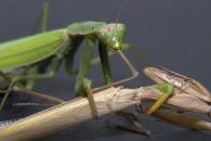 [알쏭달쏭+] 암컷 사마귀는 왜 짝짓기 중 수컷을 잡아먹을까