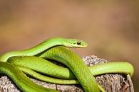 뱀의 몸이 길어진 과학적 이유 찾았다 (연구)