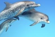 임신한 돌고래, 휘파람으로 '태교'한다 (연구)