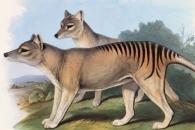 [와우! 과학] 80년 전 인간이 멸종시킨 '태즈메이니아 호랑이'