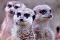 동족 가장 많이 죽이는 포유류는 '미어캣' 반전 (네이처)