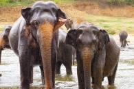 아시아 코끼리들은 평등한 질서를 갖고 있다(연구)