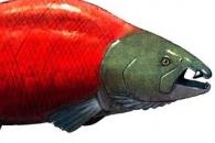 500만년 전 살았던 '초대형 연어'…몸길이 최대 2.7m