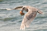 바닷새는 왜 쓰레기 먹나?…크릴새우 비슷한 냄새 나 (연구)