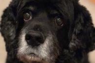 스트레스 받으면 개도 '흰 머리' 생긴다 (연구)