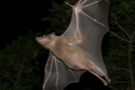[와우! 과학] 박쥐는 초음파로 말한다…4가지 신호 확인