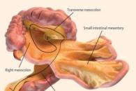 인체의 새로운 '장기' 발견…장간막, 소화기관으로 판명