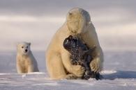 먹이사슬 최상위 포식자 북극곰 성별 바뀐다…왜?