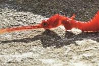 [와우! 과학] 온몸이 붉은색…초희귀 '루비 해룡' 사상 첫 포착