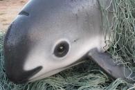 지구상 단 30마리…판다 닮은 희귀 돌고래 멸종 눈앞