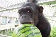인간처럼 다운증후군 앓는 침팬지 발견…두 번째