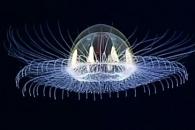 3000m 바닷속 UFO 모양 심해 해파리 발견