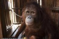 '인신매매'된 오랑우탄의 슬픈 눈…인간의 선악을 묻다