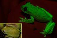 자외선 받으면 색 변하는 '형광 개구리' 첫 발견