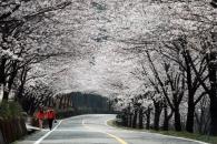 [윤기자의 콕 찍어주는 그곳] 섬진강, 벚꽃 10리 봄가슴 두근대는 곳