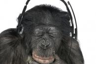 인간 닮은 침팬지, 음악을 대하는 '반전 태도' (연구)
