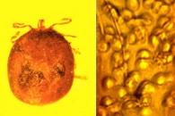 [와우! 과학] 가장 오래된 '포유류 적혈구' 화석 발견
