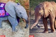 밀렵꾼 덫에 코 잃을 뻔한 아기 코끼리…기적 회복