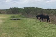 한가로이 풀 뜯던 말 악어를 보더니 갑자기…(영상)