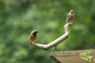 딱새의 용맹정진…새와 지구의 날