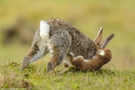 작아도 맹수!…4배 큰 토끼 쓰러뜨리는 담비 포착