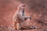 쓰러진 자식 안고 오열하는 어미 원숭이…곧 벌어진 기적