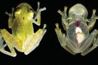 [와우! 과학] 심장 뛰는 모습 다 보이는 '시스루 개구리' 발견
