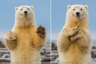 [에니멀 픽!] 관광객 향해 춤추는 어린 북극곰