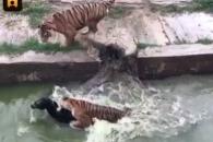 中동물원서 살아있는 당나귀를 호랑이에게…