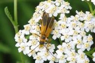 [와우! 과학] 수컷 감염시키는 '암컷 좀비' 딱정벌레 발견