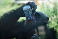 '애주가' 침팬지, '주당' 두더지…동물도 음주 즐긴다