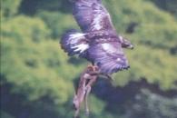 사슴 사냥해 날아가는 검독수리 포착